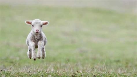 Genetically Modified Lamb with Jellyfish Protein