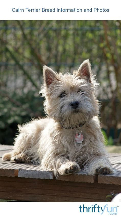 Cairn Terrier Breed Information and Photos | ThriftyFun