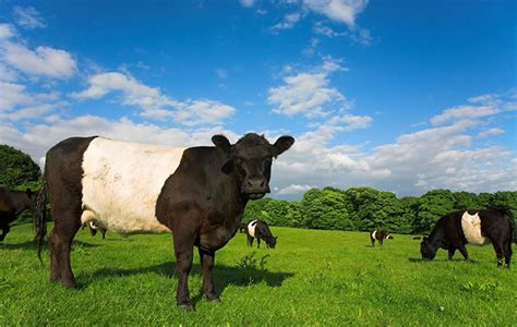 A guide to the native cattle breeds of Britain, from