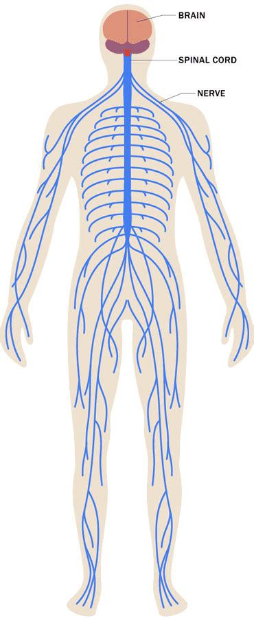 Stress Effects on the Body: Nervous System